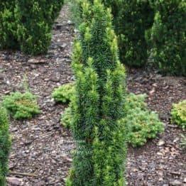 Тис средний Войтек (Taxus media Wojtek) ФОТО Питомник растений Природа (2)