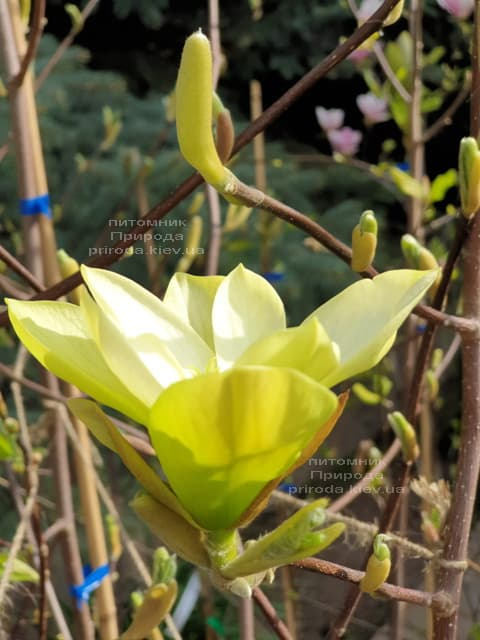 Магнолия Баттерфляй (Magnolia Butterflies) ФОТО Питомник растений Природа (2)