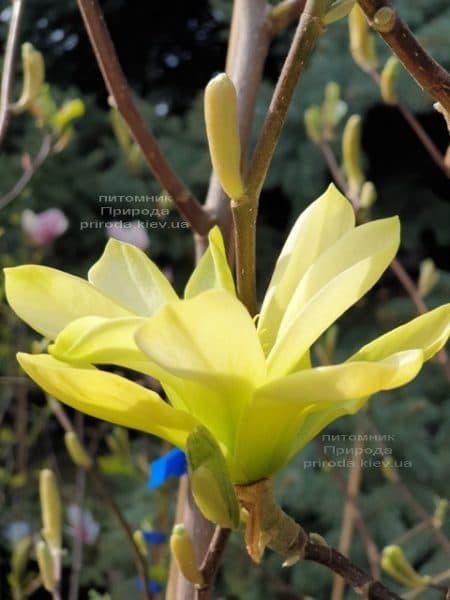 Магнолия Баттерфляй (Magnolia Butterflies) ФОТО Питомник растений Природа (3)