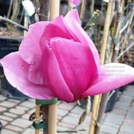 Магнолія Емперор (Magnolia Emperor) ФОТО Розплідник рослин Природа (1)