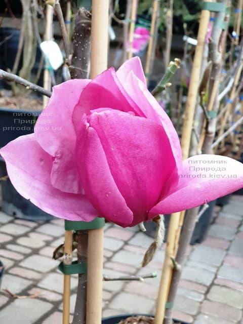 Магнолия Эмперор (Magnolia Emperor) ФОТО Питомник растений Природа (1)