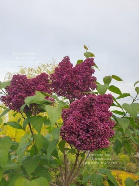 Сирень Карл 10 (Syringa vulgaris Karl 10) ФОТО Питомник растений Природа (10)