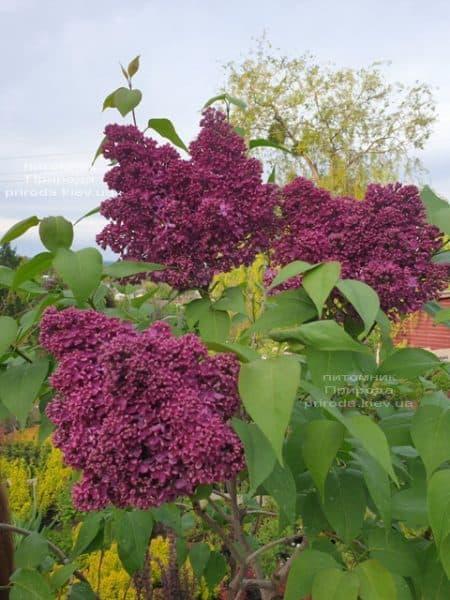 Сирень Карл 10 (Syringa vulgaris Karl 10) ФОТО Питомник растений Природа (11)