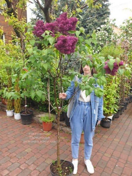 Сирень Карл 10 (Syringa vulgaris Karl 10) ФОТО Питомник растений Природа (12)