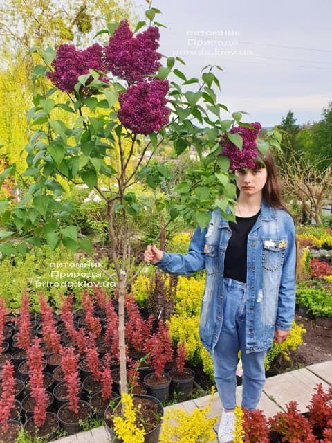 Сирень Карл 10 (Syringa vulgaris Karl 10) ФОТО Питомник растений Природа (13)