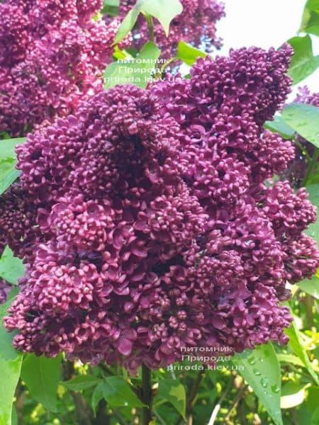Сирень Карл 10 (Syringa vulgaris Karl 10) ФОТО Питомник растений Природа (6)