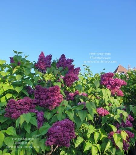 Сирень Карл 10 (Syringa vulgaris Karl 10) ФОТО Питомник растений Природа (7)