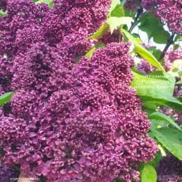 Бузок Карл 10 (Syringa vulgaris Karl 10) ФОТО Розплідник рослин Природа (8)