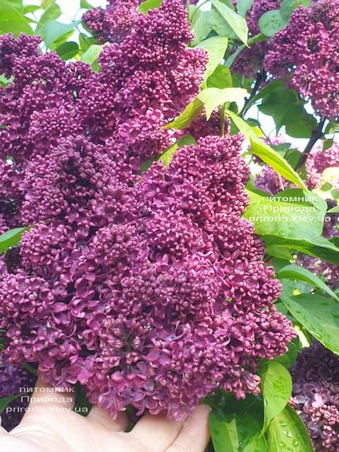 Сирень Карл 10 (Syringa vulgaris Karl 10) ФОТО Питомник растений Природа (8)