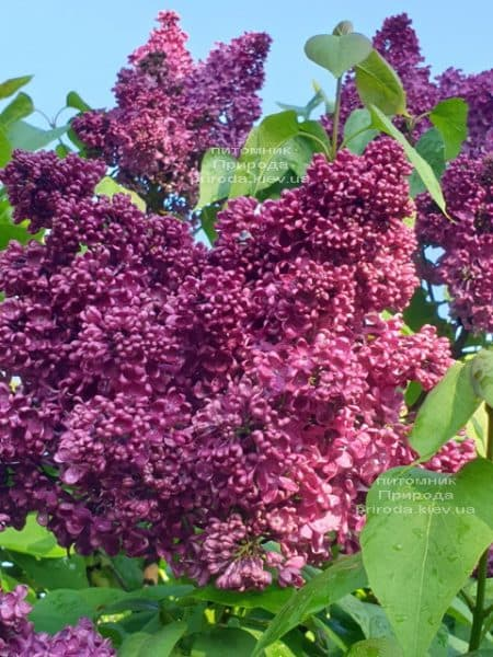 Сирень Карл 10 (Syringa vulgaris Karl 10) ФОТО Питомник растений Природа (9)