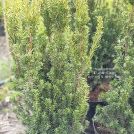 Тис средний Хикси (Taxus media Hicksii) ФОТО Питомник растений Природа (5)