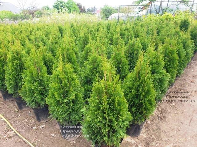 Туя західна Смарагд (Thuja occidentalis Smaragd) ФОТО Розплідник рослин Природа (119)