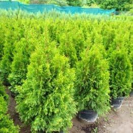 Туя западная Смарагд (Thuja occidentalis Smaragd) ФОТО Питомник растений Природа (120)