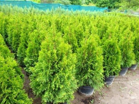 Туя західна Смарагд (Thuja occidentalis Smaragd) ФОТО Розплідник рослин Природа (120)
