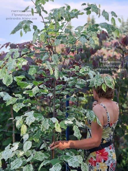 Церцис канадський Алей Кет (Cercis canadensis Alley Cat) ФОТО Розплідник рослин Природа (20)