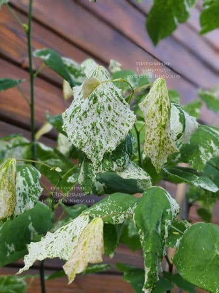 Церцис канадський Алей Кет (Cercis canadensis Alley Cat) ФОТО Розплідник рослин Природа (5)