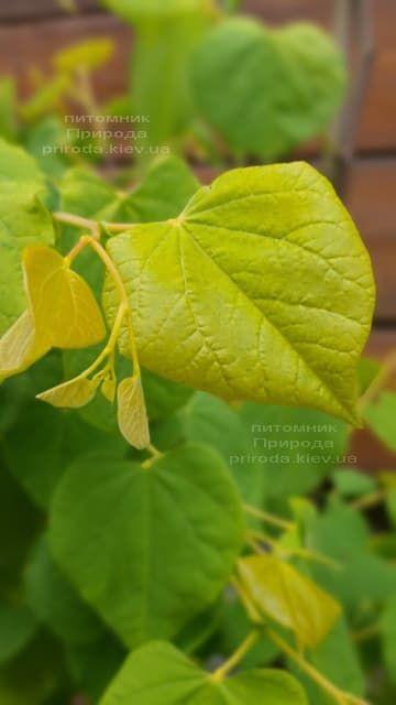 Церцис канадський Райсінг Сан (Cercis canadensis Rising Sun) ФОТО Розплідник рослин Природа (1)