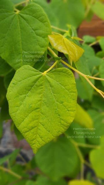 Церцис канадський Райсінг Сан (Cercis canadensis Rising Sun) ФОТО Розплідник рослин Природа (2)