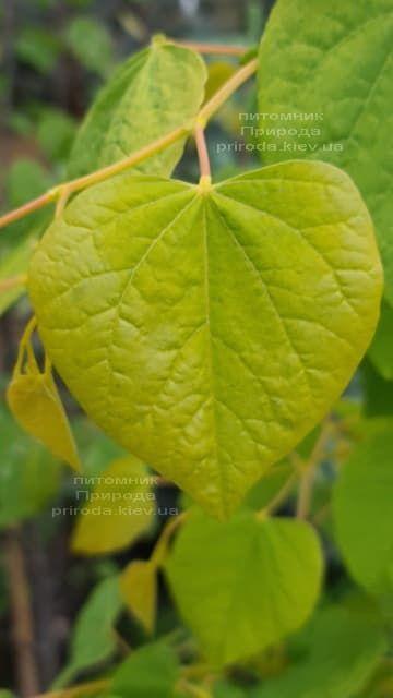 Церцис канадський Райсінг Сан (Cercis canadensis Rising Sun) ФОТО Розплідник рослин Природа (3)
