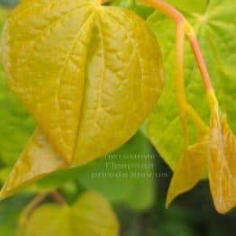Церцис канадський Райсінг Сан (Cercis canadensis Rising Sun) ФОТО Розплідник рослин Природа (4)