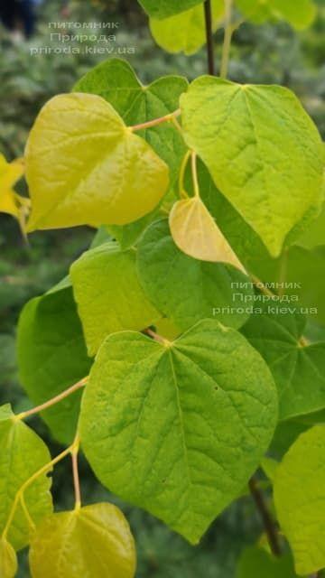 Церцис канадський Райсінг Сан (Cercis canadensis Rising Sun) ФОТО Розплідник рослин Природа (5)