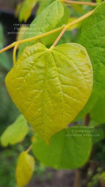 Церцис канадський Райсінг Сан (Cercis canadensis Rising Sun) ФОТО Розплідник рослин Природа (6)