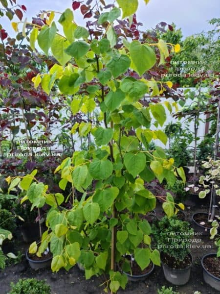 Церцис канадський Райсінг Сан (Cercis canadensis Rising Sun) ФОТО Розплідник рослин Природа (7)