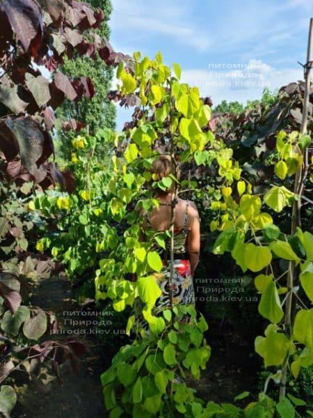 Церцис канадський Райсінг Сан (Cercis canadensis Rising Sun) ФОТО Розплідник рослин Природа (8)