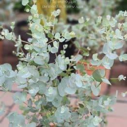 Эвкалипт (Eucalyptus) ФОТО Питомник растений Природа (8)
