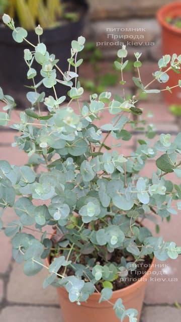 Эвкалипт (Eucalyptus) ФОТО Питомник растений Природа (9)
