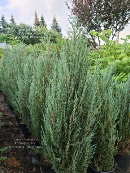 Можжевельник скальный Блю Арроу (Блю Эрроу) (Juniperus scopolorum Blue Arrow) ФОТО Питомник растений Природа (45)