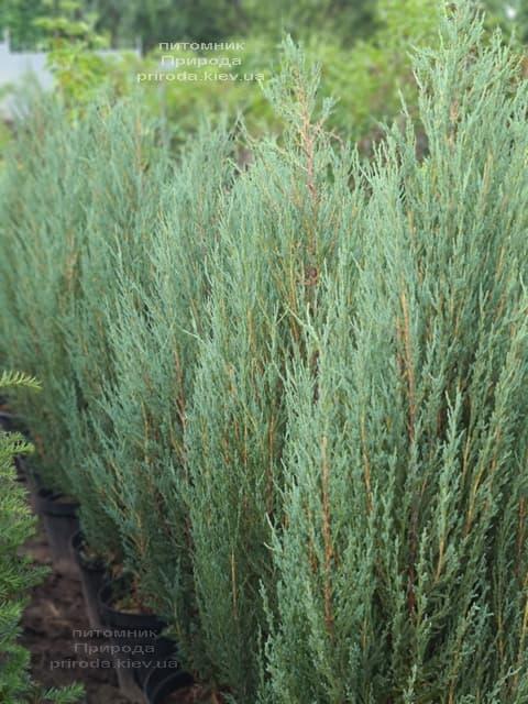 Можжевельник скальный Блю Арроу (Блю Эрроу) (Juniperus scopolorum Blue Arrow) ФОТО Питомник растений Природа (46)