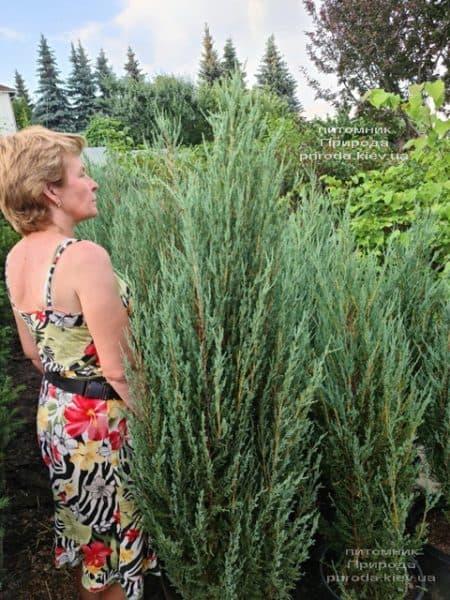 Можжевельник скальный Блю Арроу (Блю Эрроу) (Juniperus scopolorum Blue Arrow) ФОТО Питомник растений Природа (47)