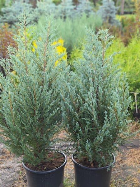 Можжевельник скальный Мунглов (Juniperus scopolorum Moonglow) ФОТО Питомник растений Природа (20)