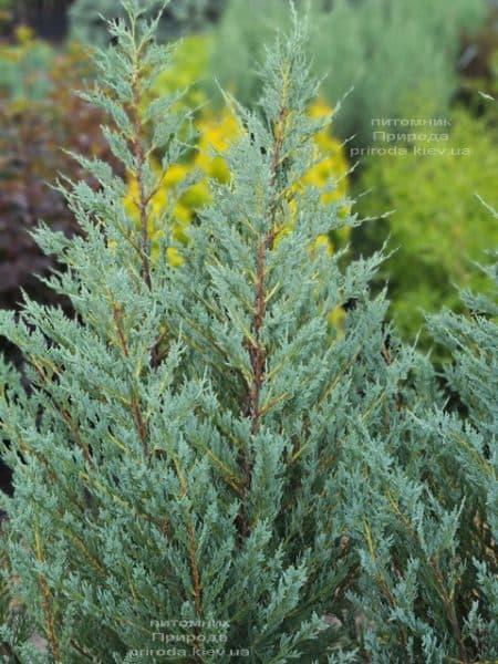 Можжевельник скальный Мунглов (Juniperus scopolorum Moonglow) ФОТО Питомник растений Природа (21)
