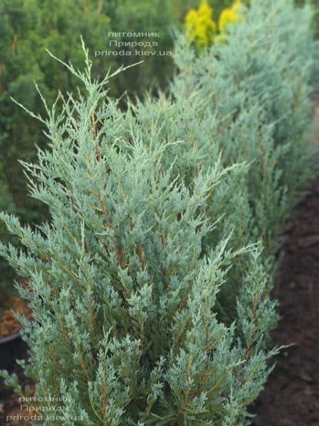Можжевельник скальный Мунглов (Juniperus scopolorum Moonglow) ФОТО Питомник растений Природа (22)
