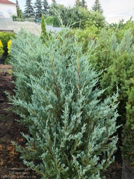 Можжевельник скальный Мунглов (Juniperus scopolorum Moonglow) ФОТО Питомник растений Природа (23)