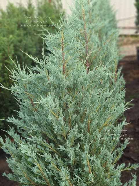 Можжевельник скальный Мунглов (Juniperus scopolorum Moonglow) ФОТО Питомник растений Природа (24)