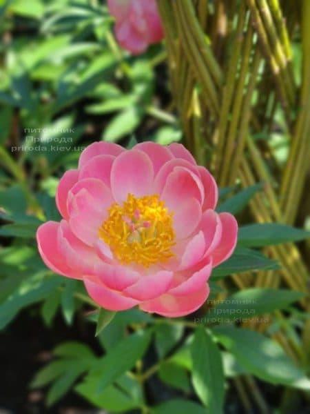 Півонія трав'янистий Coral Supreme ФОТО Розплідник рослин Природа (1)