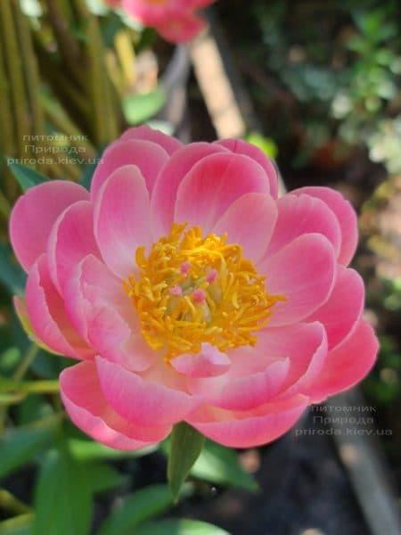 Півонія трав'янистий Coral Supreme ФОТО Розплідник рослин Природа (5)