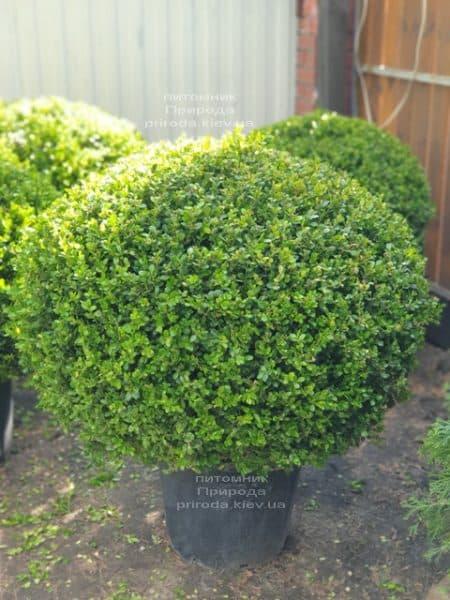 Самшит мелколистный Фолкнер (Buxus microphilla Faulkner) ФОТО Питомник растений Природа (1)