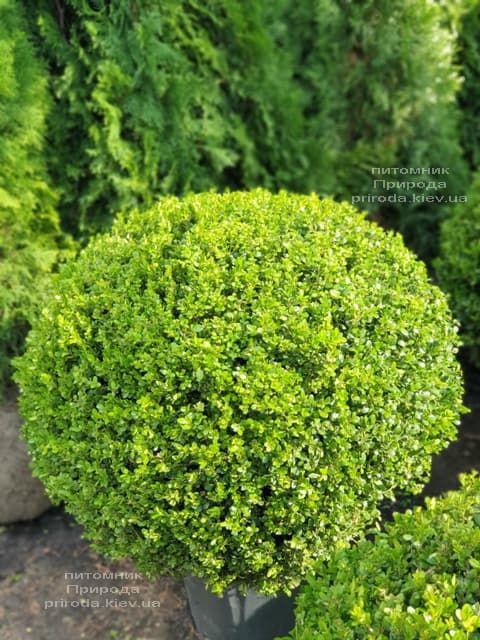Самшит мелколистный Фолкнер (Buxus microphilla Faulkner) ФОТО Питомник растений Природа (2)