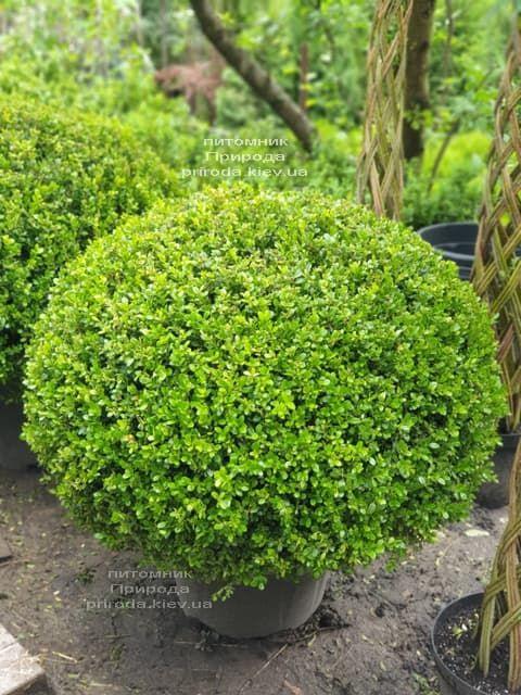 Самшит мелколистный Фолкнер (Buxus microphilla Faulkner) ФОТО Питомник растений Природа (3)