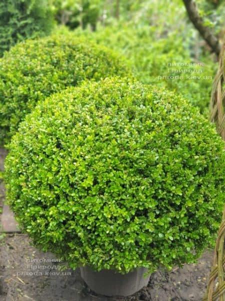 Самшит мелколистный Фолкнер (Buxus microphilla Faulkner) ФОТО Питомник растений Природа (4)