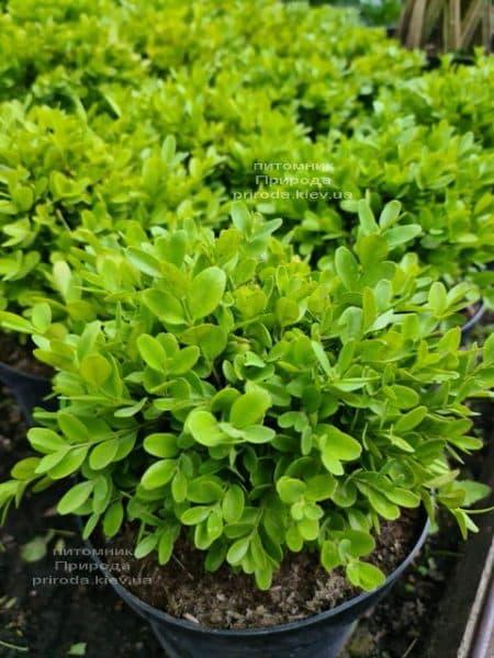 Самшит мелколистный Фолкнер (Buxus microphilla Faulkner) ФОТО Питомник растений Природа (5)