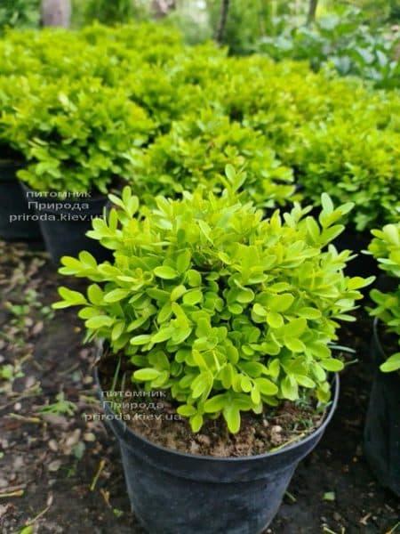 Самшит мелколистный Фолкнер (Buxus microphilla Faulkner) ФОТО Питомник растений Природа (6)