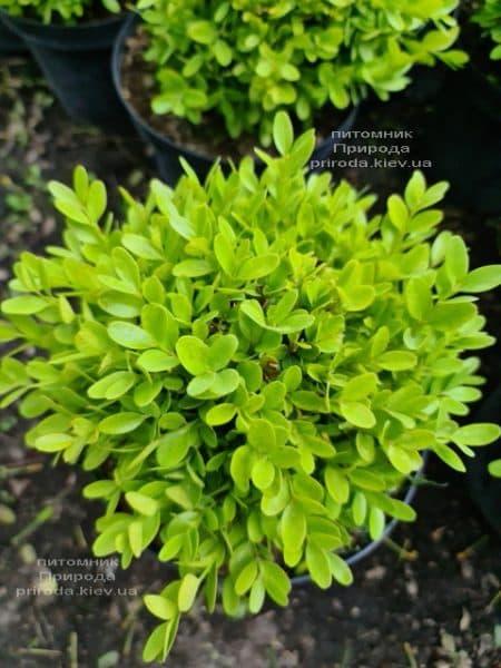 Самшит мелколистный Фолкнер (Buxus microphilla Faulkner) ФОТО Питомник растений Природа (7)