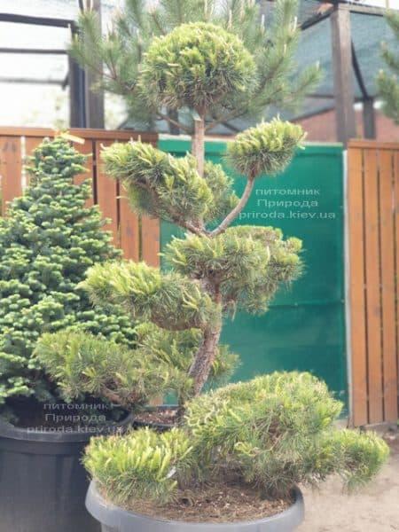 Сосна обыкновенная Бонсай (Pinus sylvestris Bonsai) ФОТО Питомник растений Природа (1)