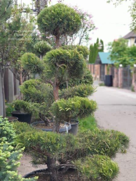 Сосна обыкновенная Бонсай (Pinus sylvestris Bonsai) ФОТО Питомник растений Природа (2)