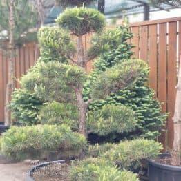Сосна звичайна Бонсай (Pinus sylvestris Bonsai) ФОТО Розплідник рослин Природа